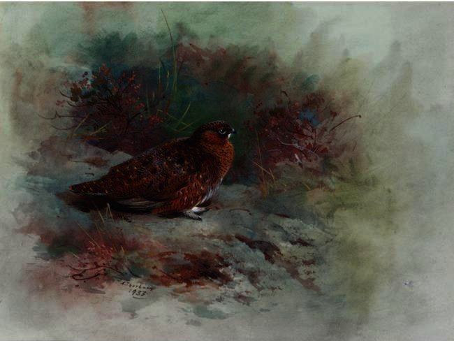 A Grouse, tinta para aguarela por Archibald Thorburn (1860-1935, United Kingdom)