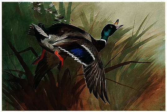 A Winged Mallard, tinta para aguarela por Archibald Thorburn (1860-1935, United Kingdom)