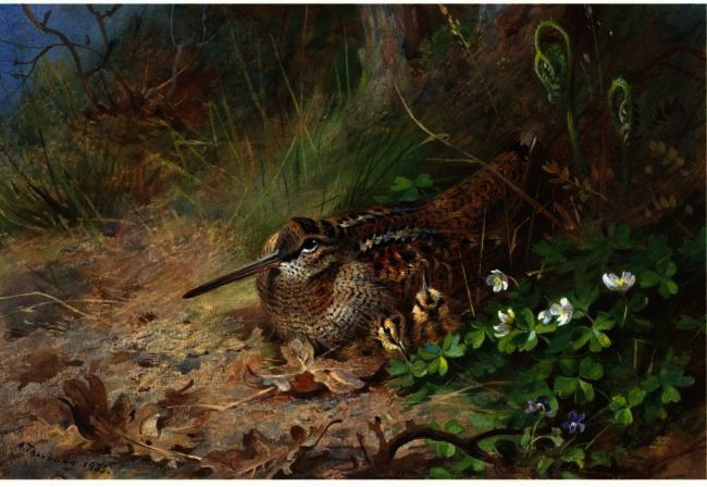 a `woodcock` e o seu jovem, aquarela por Archibald Thorburn (1860-1935, United Kingdom)