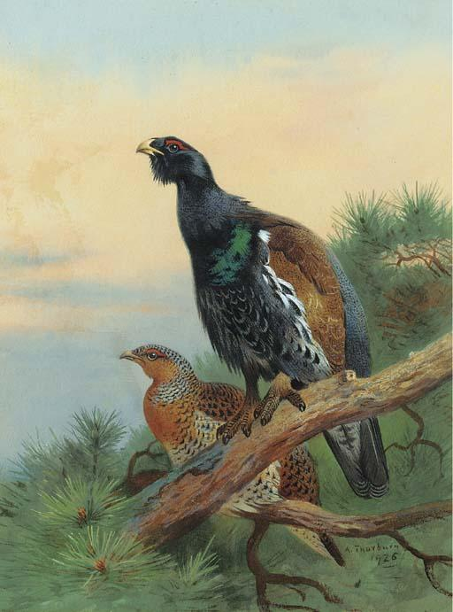 Tetraz On Pine A Scot, tinta para aguarela por Archibald Thorburn (1860-1935, United Kingdom)