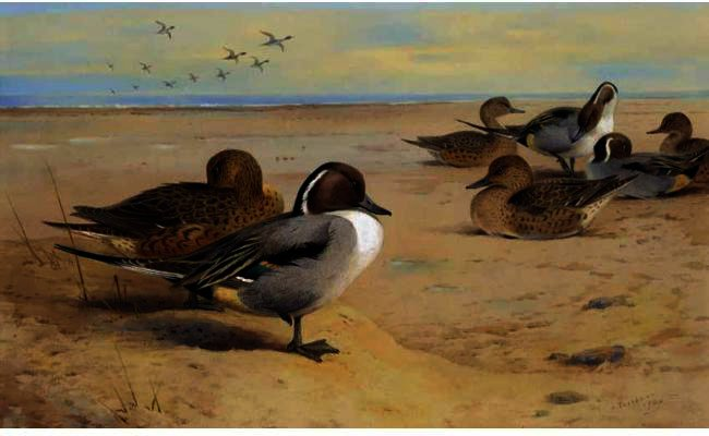 Arrabio Ducks, tinta para aguarela por Archibald Thorburn (1860-1935, United Kingdom)