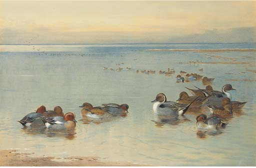 Teal E Widgeon, tinta para aguarela por Archibald Thorburn (1860-1935, United Kingdom)