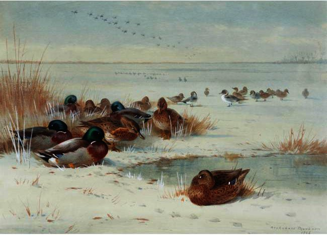 The Frozen Fen - Mallard E arrabio, tinta para aguarela por Archibald Thorburn (1860-1935, United Kingdom)