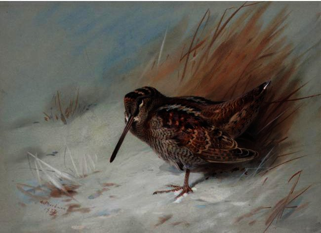 Woodcock 2, tinta para aguarela por Archibald Thorburn (1860-1935, United Kingdom)